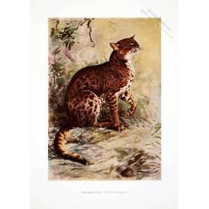 1906 Color Print African Golden Cat Liberia Wildlife Animal Harry