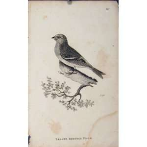 Lesser Redpole Fich Bird Fine Art Antique Old Print