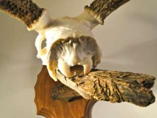 MULE Deer Antlers Pedestal Mount Skull SHEDS GNARLY Must See!