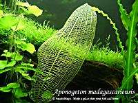 madagascar   Live Aquarium Plant Fish Tank Decor INV
