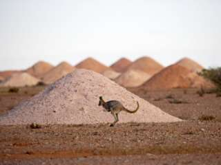 Kangaroo in Opal Mining Area in Coober Pedy in the South Australian
