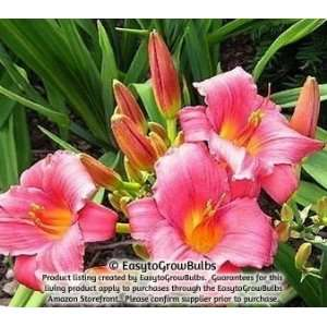 Daylily Wine Delight   1 bare root plant   3/5 fan Patio