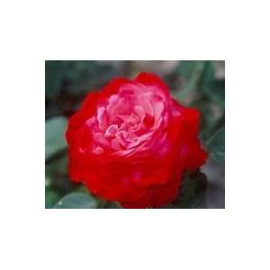 Milestone (Rosa Hybrid Tea)   Bare Root Rose Patio, Lawn